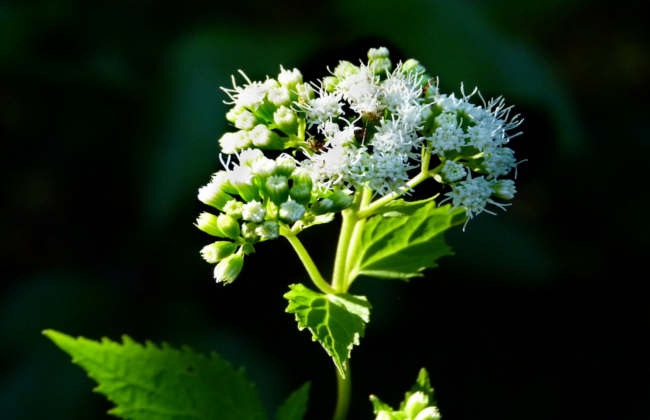 White Snakeroot found in North America
